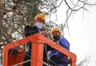IVANEČKA LIPA Uzeto novih 250 plemki s matičnog stabla za proizvodnju novih klonova