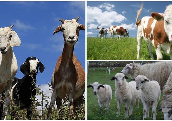 Potpore za uzgoj goveda, ovaca koza i peradi